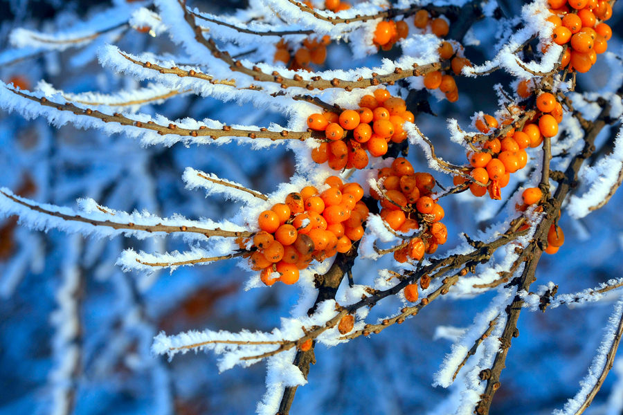 bigstock-the-branches-of-sea-buckthorn-27211061